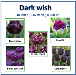 Dark wish, 30 lökar -
