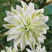 Lilja 'Polar star'
