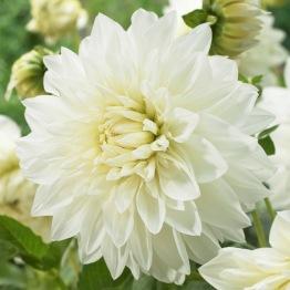 Dahlia 'White perfection' - Dahlia White perfection, 1 st