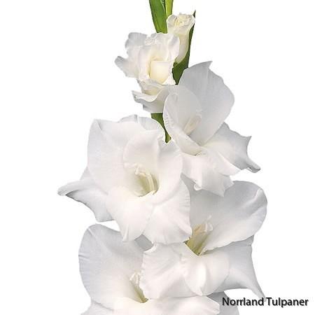 Gladiolus Snowdon
