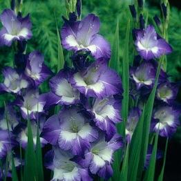 Gladiolus 'Nori' - Gladiolus Nori, 5 st