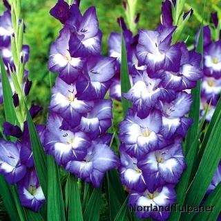 Gladiolus Nori 3