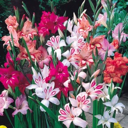 Gladiolus 'Nanus mixed' - Gladiolus Nanus mixed, 10 st