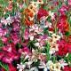 Gladiolus 'Nanus mixed' - Gladiolus Nanus mixed, 25 st