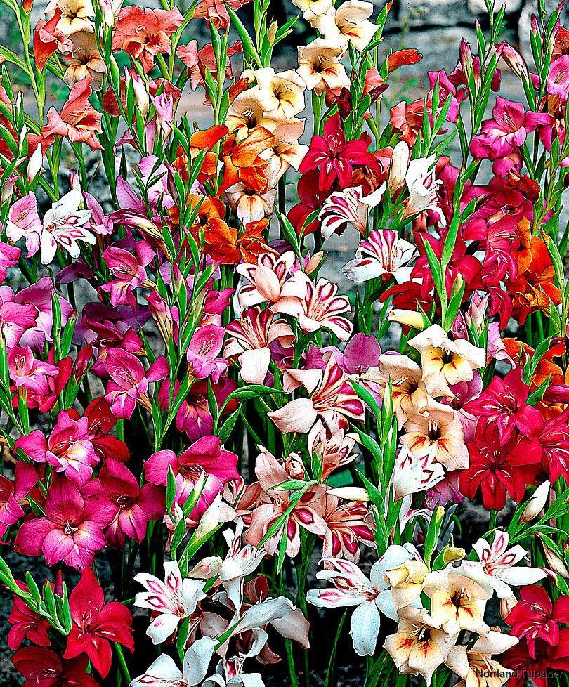 Gladiolus Nanus mixed 3