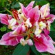 Lilja 'Parrot pink Cariba' - Lilja Parrot pink Cariba, 1 st