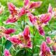 Lilja 'Parrot pink Cariba' - Lilja Parrot pink Cariba, 5 st