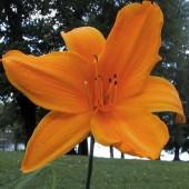 Daglilja: Norton Orange