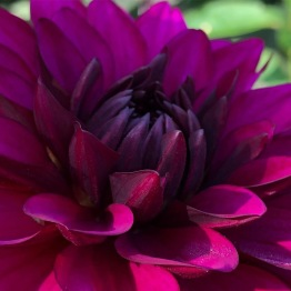 Dahlia 'Purlple Flame deco' - Dahlia Purple Flame, 1 st