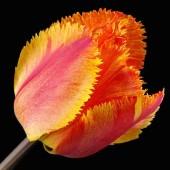 Tulpan: Fringed solstice, 10 lökar