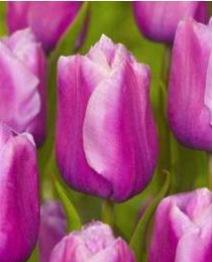 Tulpan: Holland beauty, 10 lökar - Holland beauty, 10 lökar