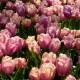 Tulpan: Holland beauty, 10 lökar - Holland beauty, 25 lökar