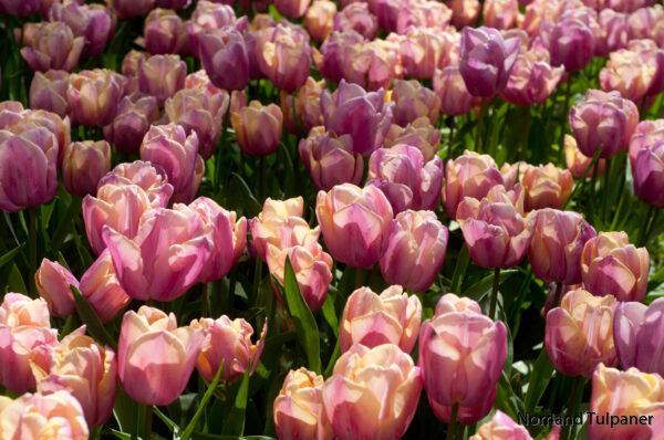 Holland beauty 2