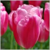 Tulpan: Jumbo Pink, 10 lökar