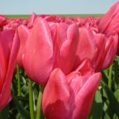 Tulpan: Sweet rosy, 10 lökar