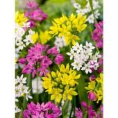 Allium blandning, 10 lökar