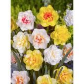 Narcissus, dubbla blandad, 5 lökar