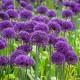 Allium: Purple sensation, 10 lökar - Purple sensation, 25 lökar