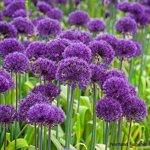 Purple sensation 2