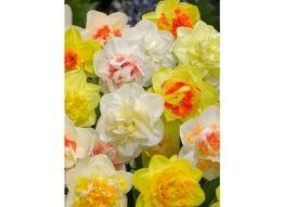 Narcissus, dubbla blandad, 5 lökar - Narcissus double mix, 5 lökar