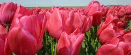 Tulpan: Sweet rosy, 10 lökar - Sweet rosy, 10 lökar