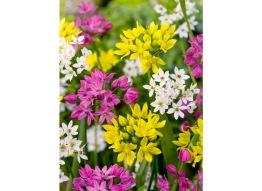 Allium blandning, 10 lökar - Allium mix, 10 lökar