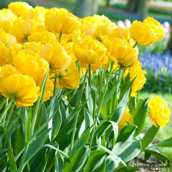 Yellow-pomponette 2