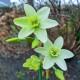 Narcissus Polar hunter, 5 lökar