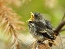 Svartvit Flugsnappare (unge)