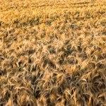 Vajande fält i Vessigebro. FOTO: MICAEL GOTH