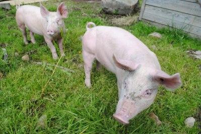 djur grisar på fäbod