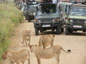 Många var vi som ville se lejon