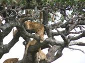 8 lejon låg i skuggan