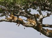 Lejon i träd