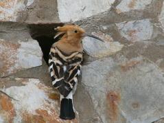 Den här finns inte här! Härfågeln hittade vi på Gran Canaria