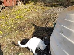 Tussilago Farfara o en vit katt