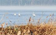Svanar på morgonpromenad på isen.