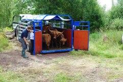 Här kommer en del av våra kor till sin nya hage i Hyllingsund