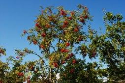 Vackra röda rönnbär - hösten är på väg.