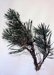 Pine (SÅLD)