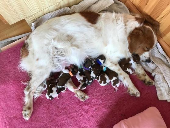 Miltassias Molly av Lyster med sina nyfödda valpar