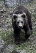 Brown bear  ©  Rolf Eriksson 2007
