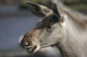 Moose calf  ©  Rolf Eriksson 2007