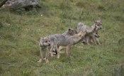 Wolf puppies  ©  Rolf Eriksson 2007