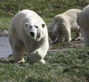 Polar bear_2  ©  Rolf Eriksson 2007