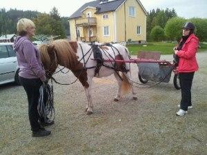 Vackerhästen Ganti första gången i vagn...