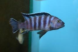 M zebra chinyankhwazi