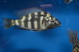 Placidochromis jonstoni solo