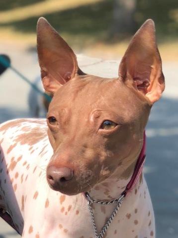 Isa är bb, alltså brun. Därav den bruna nosen och de ljusa ögonen också. Isa kan alltså inte få svarta valpar om hon inte paras med en hund med dominant B. Men vi vet att alla hennes valpar kommer att bära på brunt eftersom Isa är brun och därför bara kan skicka vidare recessivt b till sina valpar.