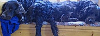 """Min brors hundar, Torsten och Astor, vilar hemma hos """"farmor-matte""""."""